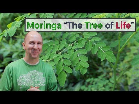 "Moringa Tree ""The Tree of Life"" | vlog episode 14"