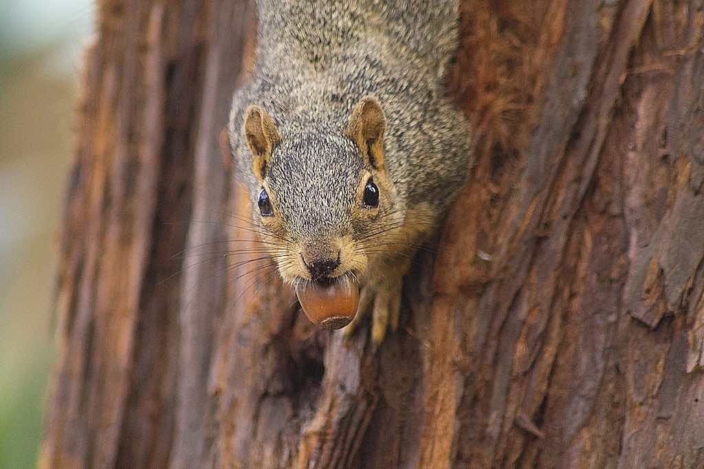 Large grey squirrel on a tree with an acorn in its mouth.
