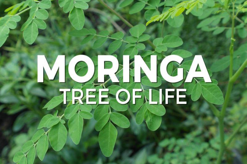 Moringa tree of life