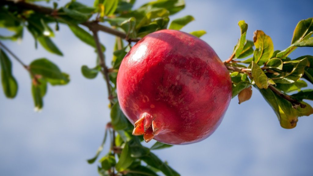 Pomegranate growing on a bush.