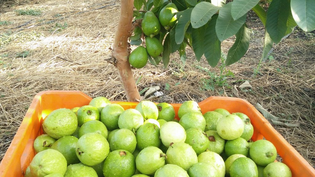 Several guavas in an orange container.