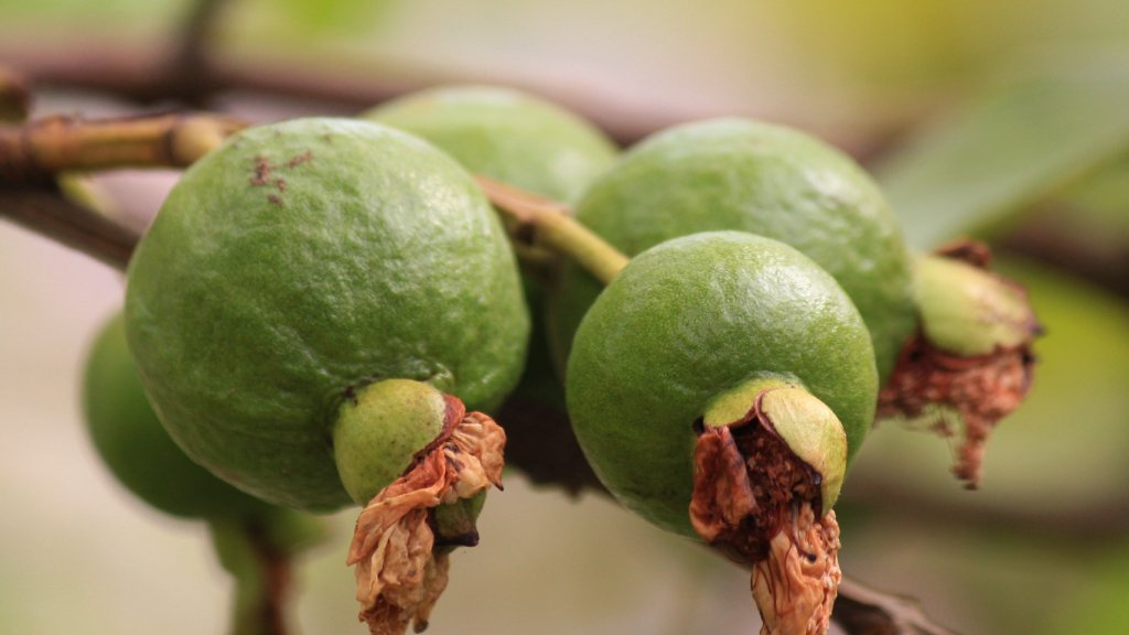Mexican guavas growing on a tree.