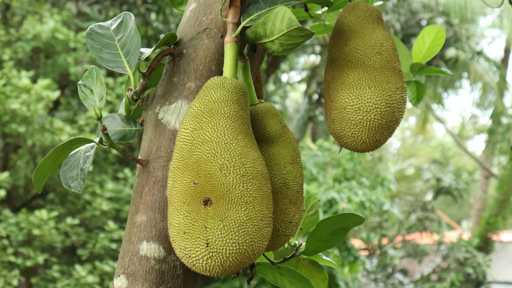 Three large jackfruit growing on a tree.