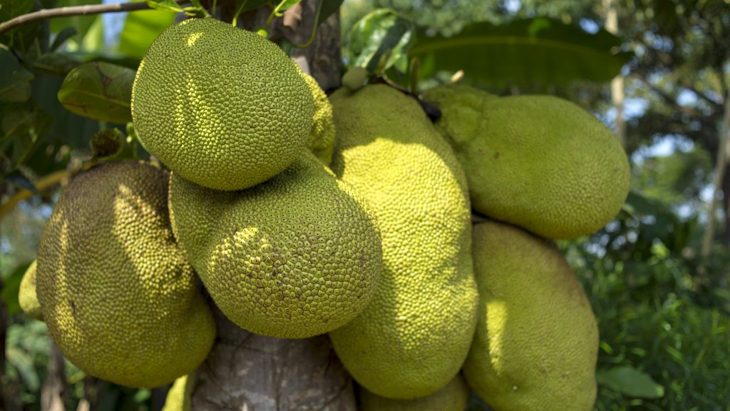 Several jackfruit hanging on a tree