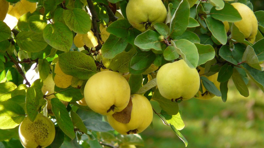 Quince fruit growing on a tree