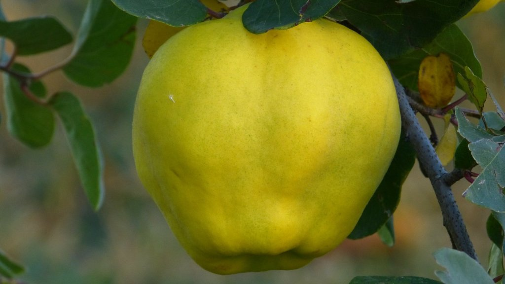 Quince fruit on a tree.