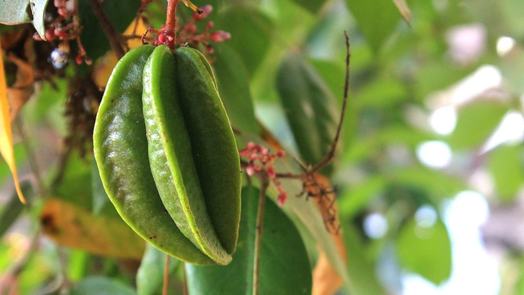 Growing star fruit on a tree