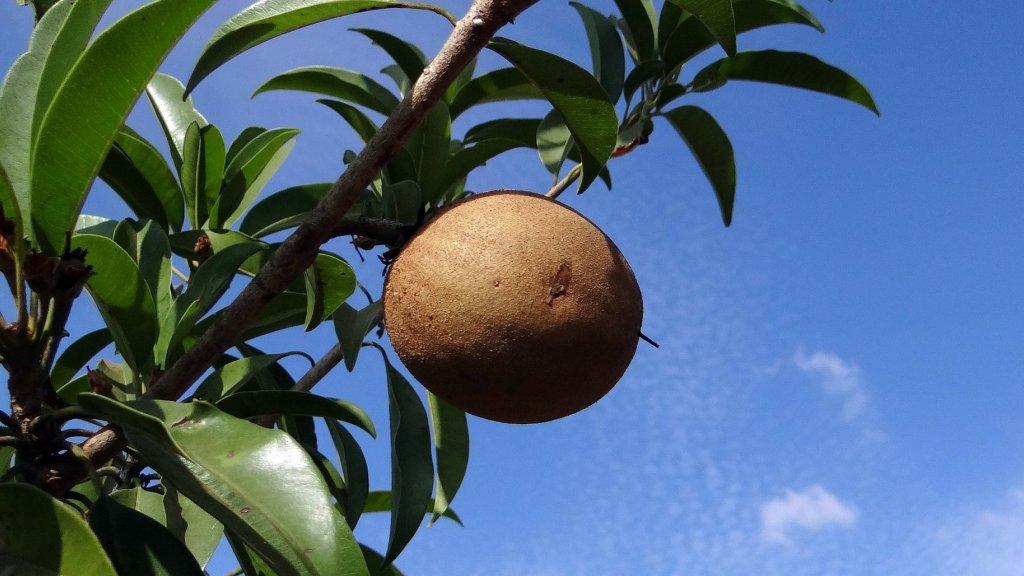 Sapodilla growing on a tree