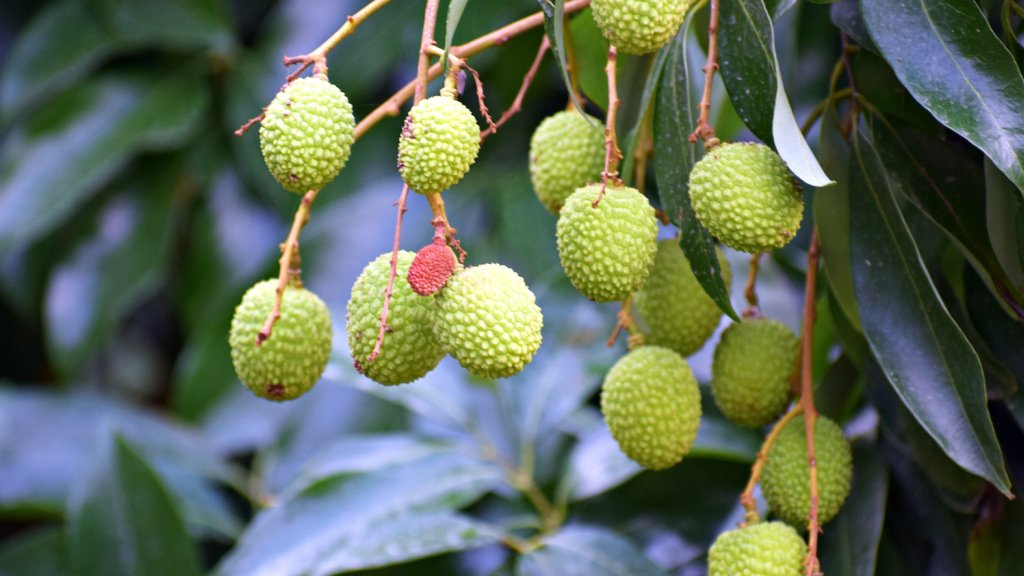Green lychee growing on a tree.