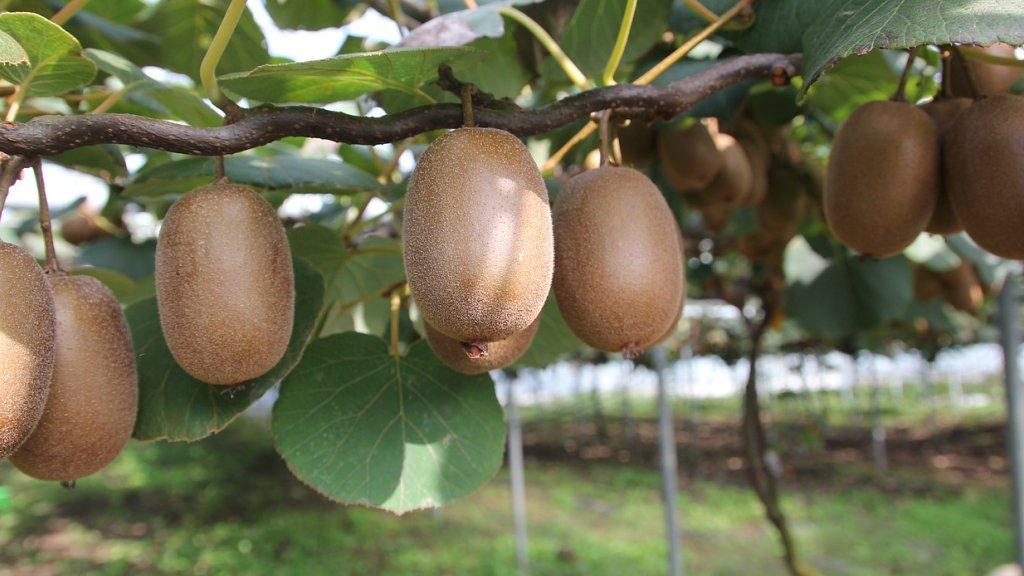 Kiwi gold growing on a vine.